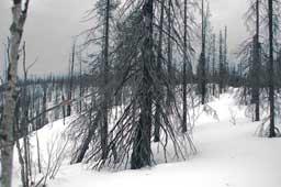 Сгоревший лес на подъеме